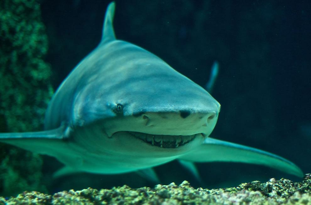 اسماك القرش تحت الماء Sharptooth-lemon-sha