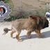 Το λιοντάρι που αποδείχθηκε σκύλος