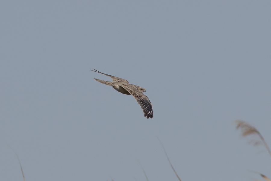 Egyptian Nightjar - Khafrah Marsh » Focusing on Wildlife - SoSialPolitiK