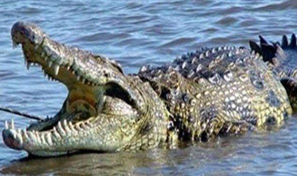 """مواجهة مع تمساح نادر تنتهي بـ""""مأساة رهيبة"""""""
