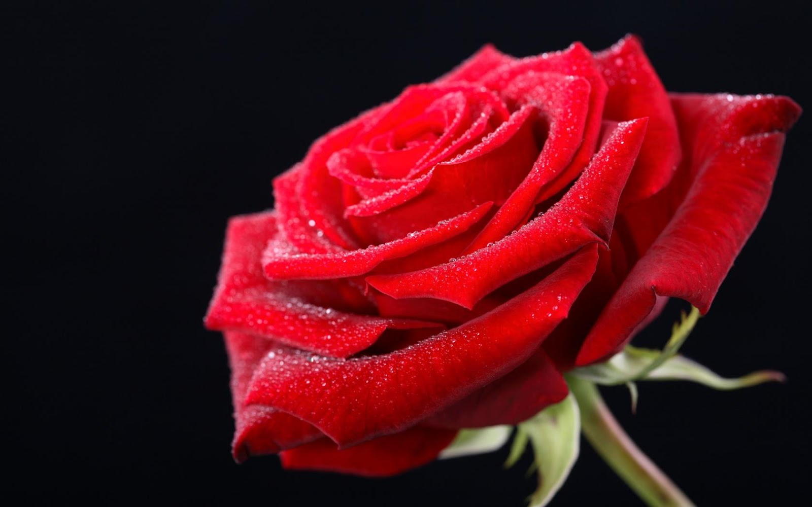 Red rose HD wallpaper on valentines day 2016