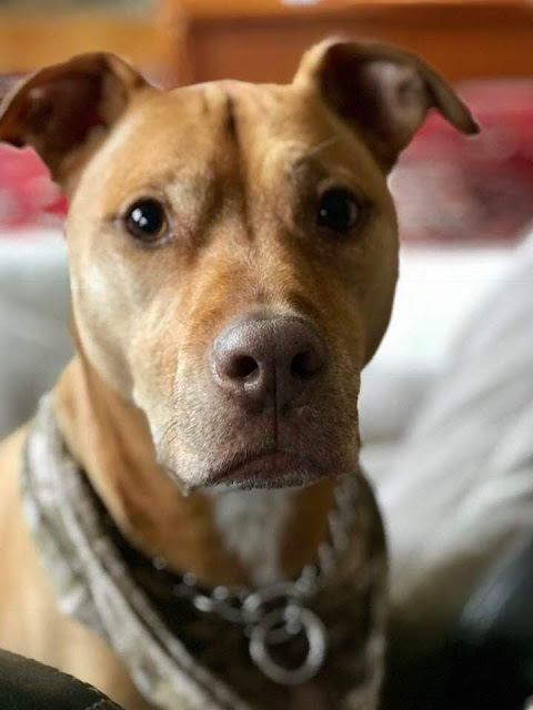 Who Are the Pit Bull Owners?