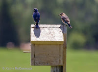 Eastern Bluebird pair on nest box – July 1, 2017 – Kmac