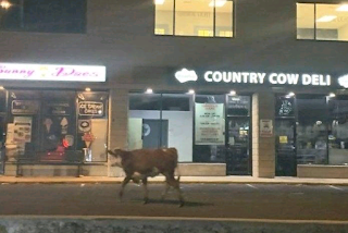 Police chase loose cow through Connecticut town|interesting news|