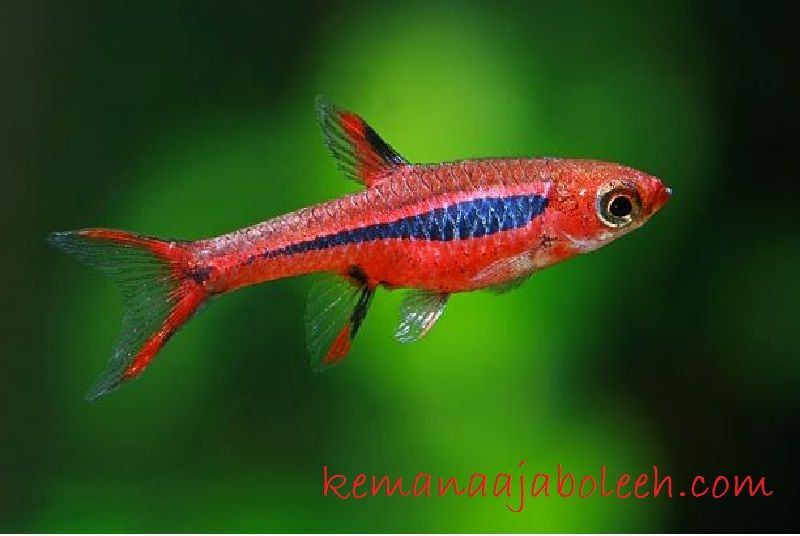 Chili Rasbora - Jenis Jenis Ikan Hias Air Tawar Aquascape Paling Lengkap