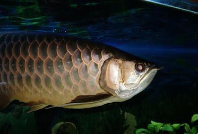 Ikan arwana papua
