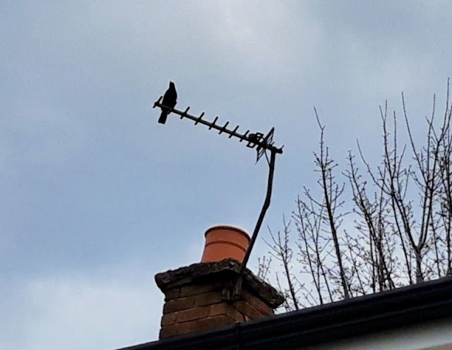 Image shows a blackbird sitting on a TV aerial on a house roof.