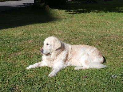 Vodicí pes Cilka leží na trávě