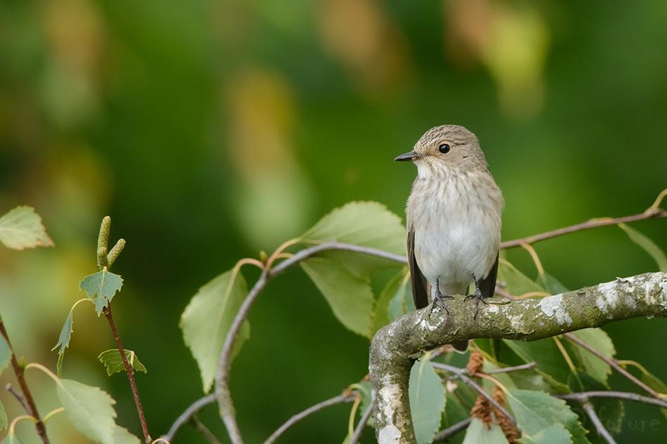 Hall-kärbsenäpp, Muscicapa striata, Spotted Flycatcher