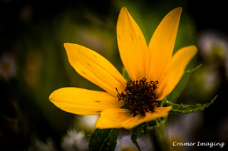 Professional quality nature macro photograph of a wild golden yellow sunflower in Pocatello, Bannock, Idaho by Cramer Imaging