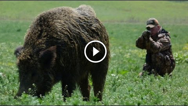 Chasse aux sangliers géant en Hongrie