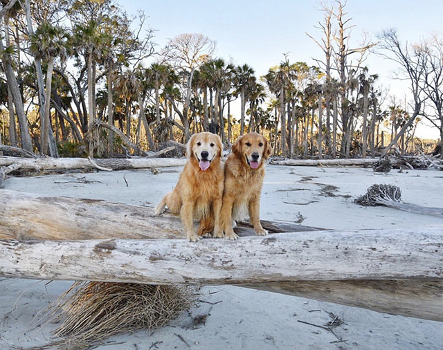 Golden Retrievers Hunting Island
