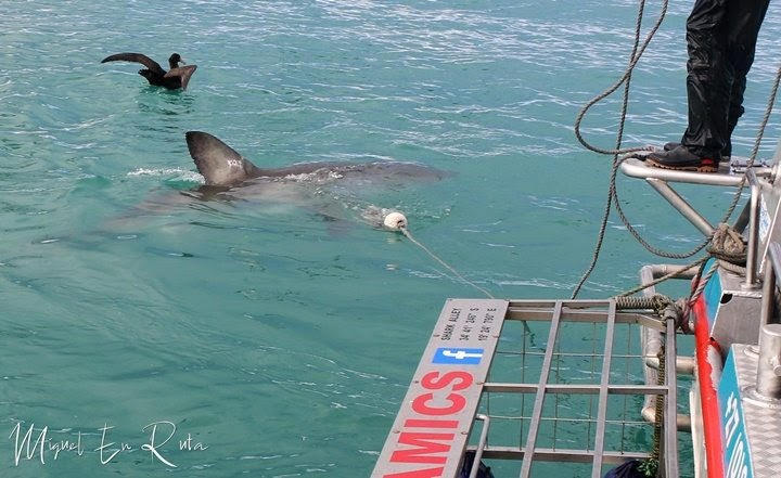 Impresionante-tiburón-blanco-en-Sudáfrica