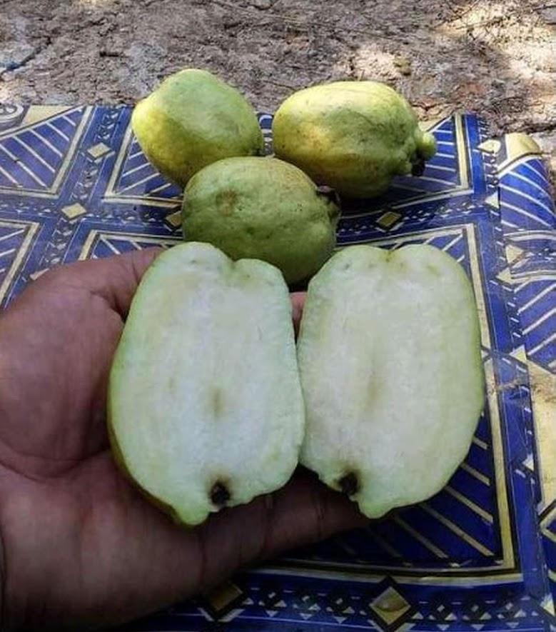Bibit Buah Jambu Biji Pohon Farang Thailand Super Fresh Cangkok Okulasi Bima