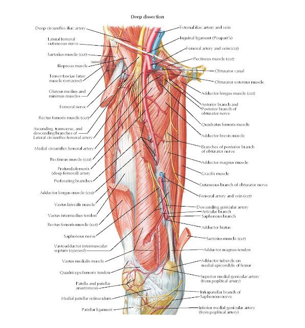 Arteries and Nerves of Thigh: Anterior Views Anatomy