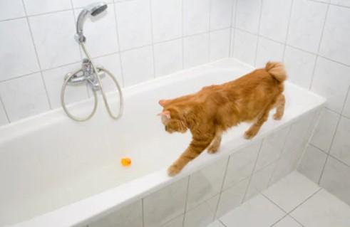 kurilian bobtail cat - all you want to know about kurilian bobtail cats