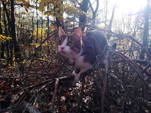 Kot na spacerze w lesie