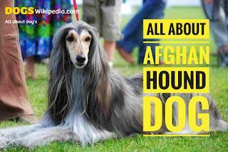 Afghan hound dog details, afghan dog, afghan dog breed, about afghan dog, history of Afghan dog