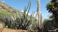 Bleached cactus beside live ones - Koko Crater Botanical Garden, Oahu, HI