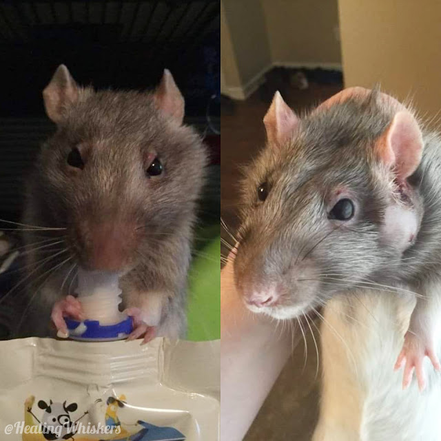 Xavier the rat with a Zymbal's Gland Tumor, or ZGT