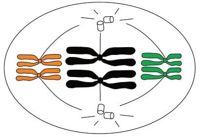FAMEMA 2017: A figura representa uma célula animal com os pares de cromossomos homólogos na região mediana durante a meiose I.