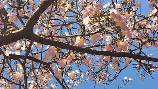 6 Manfaat Bunga Tabebuya yang Bikin Surabaya Secantik Musim Semi di Jepang