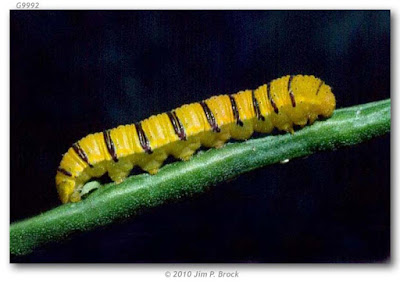 oruga de mariposa febo