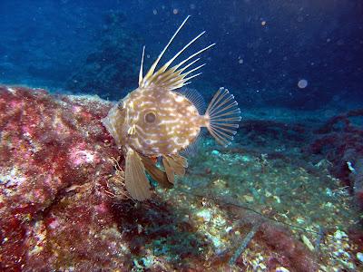 Dulger Fish