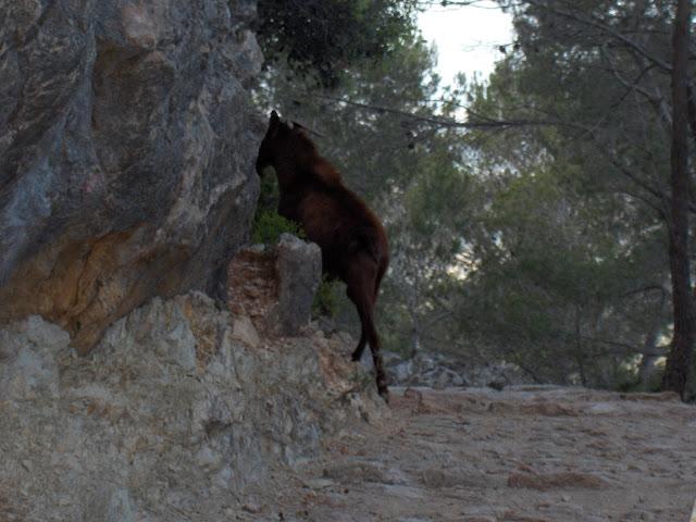 Cabra Montesa - Castillo de Alaró
