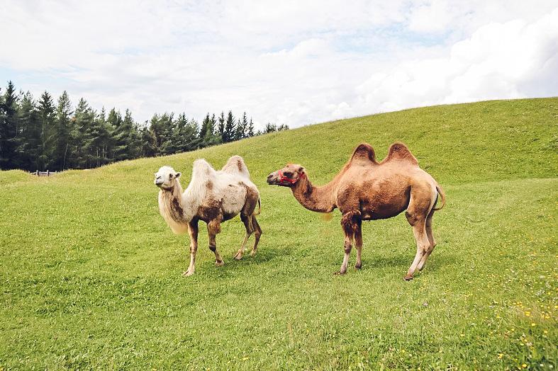 I cammelli alla malga Tuff