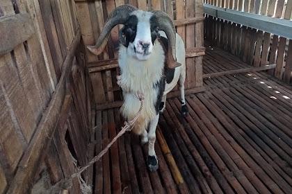 Analisa Usaha Ternak Kambing Domba