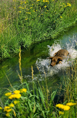 Brown dog charging thru water, green ditchbank