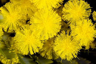 Gambar Bunga Akasia yang Indah 6