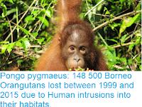 https://sciencythoughts.blogspot.com/2018/10/pongo-pygmaeus-148-500-borneo.html