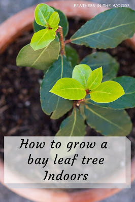 Bay laurel plant growing in a pot indoors