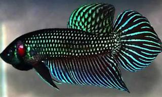 ikan cupang terganas