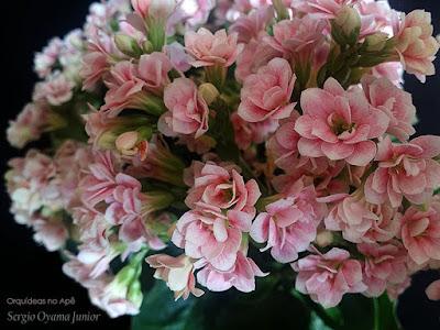 Suculenta Kalanchoe blossfeldiana