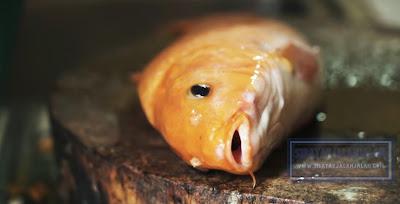 foto ikan mas naniura
