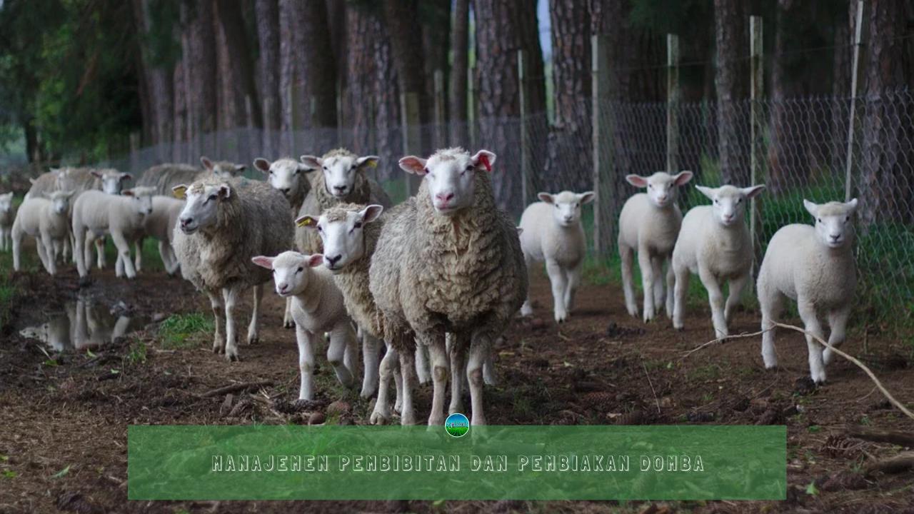 Manajemen Pembibitan dan Pembiakan Domba