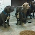 Here's What Happens When A 4-Year-Old Is Left By Herself With A Pack Of Hungry Pit Bulls (Video)