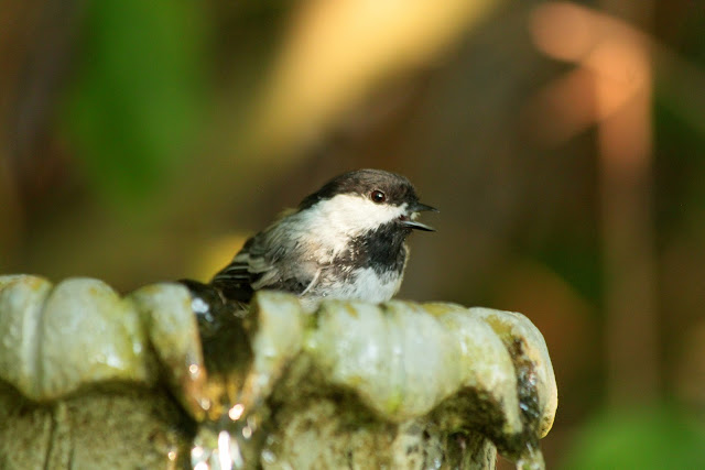 A Chickadee enjoys a bath in our fountain
