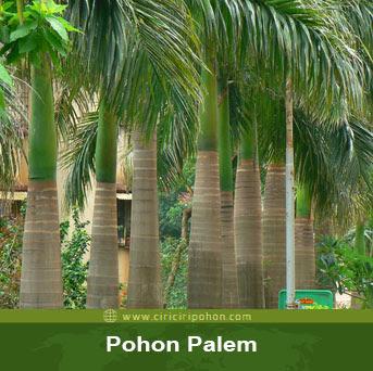 ciri ciri pohon palem