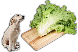 can dogs eat lettuce, can dogs have lettuce