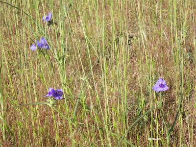 spiderworts in grass