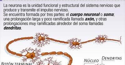 DIBUJOS IMAGENES BIOLOGIA SISTEMA APARATO DIBUJOS DE NEURONAS y