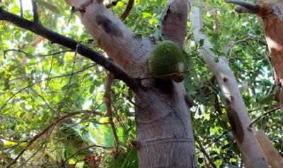 Pohon nangka di Arab Saudi