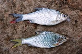 Umpan Ikan Tawes