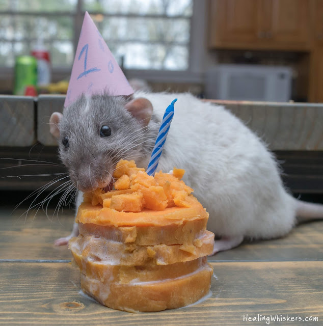 Vincent the therapy rat with his sweet potato birthday cake