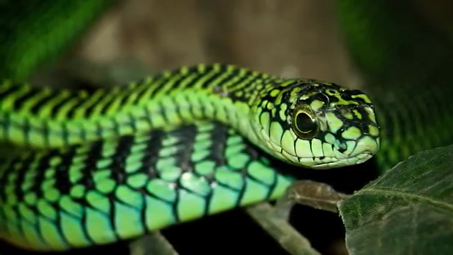 Top 10 Deadliest Snakes in the World, The Boomslang