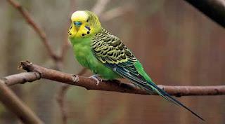 Asal Usul Dan Jenis Jenis Burung Parkit Purwomp Com